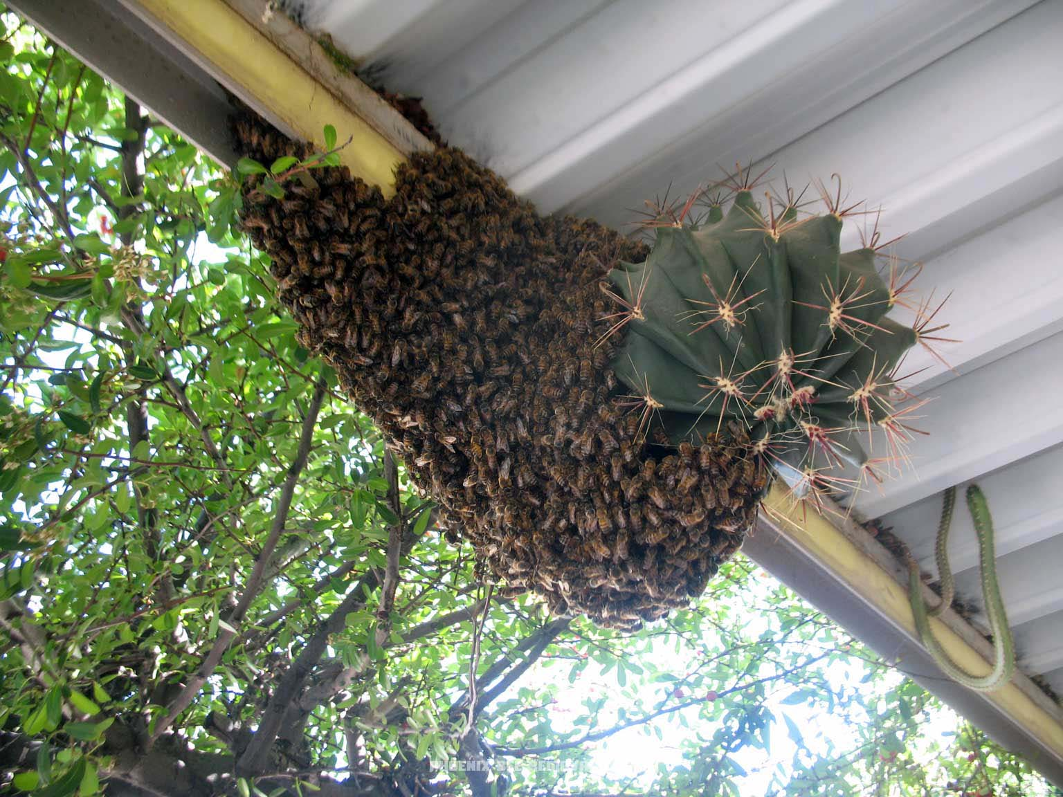 Honey Bee Swarm On A Cactus